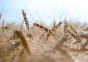 blé avec un ciel bleu photo