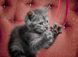 Chaton gris sur un canapé rouge jouant avec un ruban photo