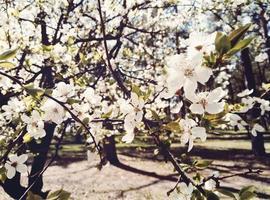 fleurs de pommier blanches photo