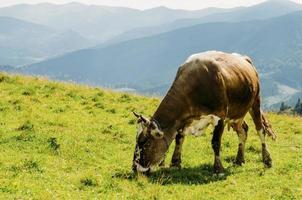 vache mange de l'herbe dans les montagnes photo