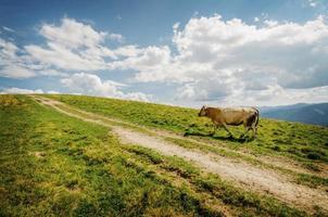 vache marchant dans les montagnes photo