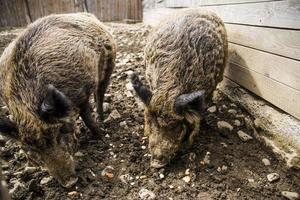deux sangliers mangeant près de la clôture