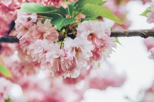 gros plan de fleur de pommier rose photo