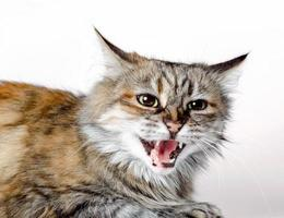chat sifflant sur fond blanc photo
