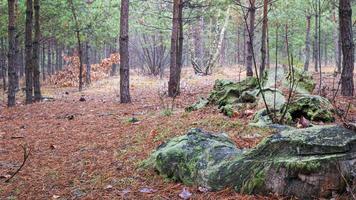 Souche de bûches envahie par la mousse dans une jeune forêt de pins de conifères photo