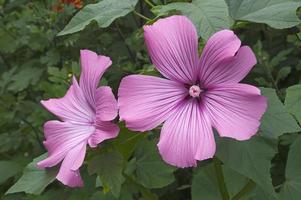 mauve annuelle lavatera trimestris appelée mauve rose, mauve royale et mauve royale. un autre nom scientifique est althaeae trimestris photo