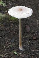 champignons parasol macrolepiota procera photo