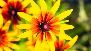 gros plan de chrysanthème, fleurs de printemps photo