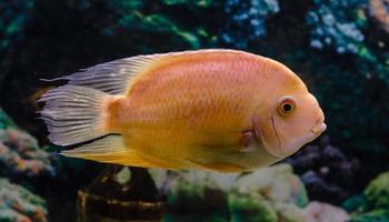 poisson perroquet orange photo