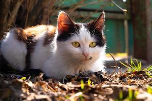 Chaton noir et blanc se prélassant au soleil du printemps photo