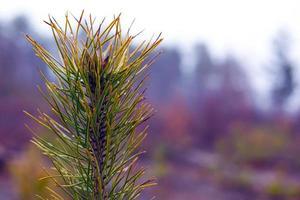 Brin de pin conifère à feuilles persistantes sur fond de forêt floue avec des gouttes de rosée photo