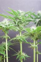 Beau buisson de cannabis en fleurs avec des bourgeons blancs comme neige parsemés de trichomes photo
