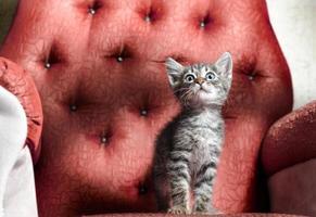 chaton sur une chaise rouge photo