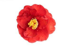 Fleur de camélia rouge entièrement fleurie avec étamine jaune et pistils isolé sur fond blanc photo