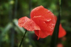fleur de pavot floraison sur fond de fleurs de coquelicots. photo