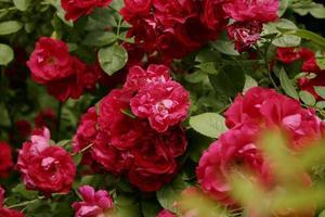 Bush roses de jardin rose vif. fleurs roses sur fond de feuilles vertes. copie espace, arrière-plan, gros plan, photo