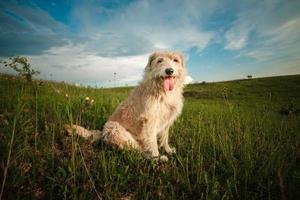 heureux, chien blanc, à, langue dehors, dans, nature photo