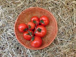 Tomates dans un panier en osier sur un fond de foin ou de paille photo
