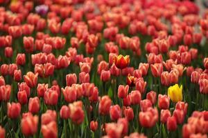 champs sur lesquels fleurissent des tulipes roses. champ de tulipes. champ avec des tulipes roses. bouquet de fleurs, fond rose photo