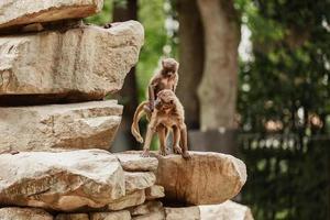 deux singes amoureux sur les pierres, lopburi. photo