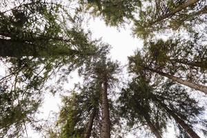 vue de dessous de grands arbres anciens dans une forêt de pins d'automne. Carpates, Ukraine. photo