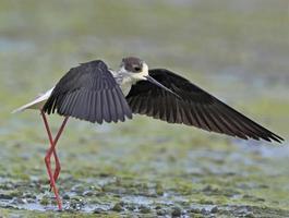Échasses à ailes noires - Himantopus himantopus, Grèce photo