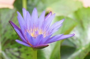 gros plan, de, a, lotus violet photo
