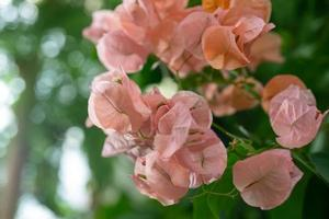 Fleurs de bougainvilliers roses avec un fond vert flou photo