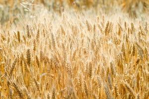 Champ de céréales de blé à la fin de l'été photo