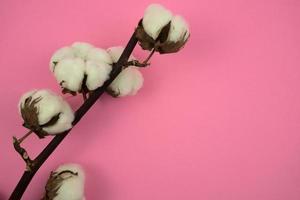 branche de coton sur fond rose photo