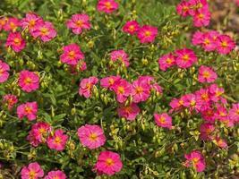 fleurs roses de roche rose photo