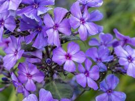 fleurs de phlox violet photo
