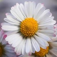 belle fleur de marguerite au printemps