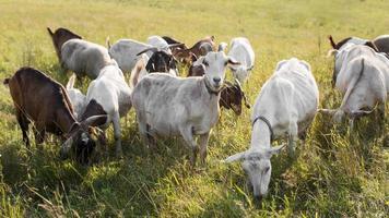 chèvres sur terre avec de l'herbe au soleil photo