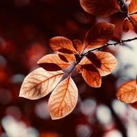 feuilles d'arbres rouges en saison d'automne, couleurs d'automne photo