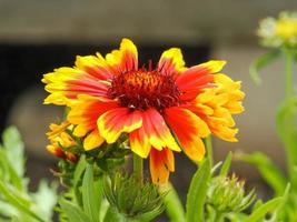 fleur de gaillarde orange vif et jaune photo