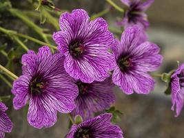 Fleurs de géranium cranesbill pourpre photo