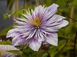 belle fleur lilas photo