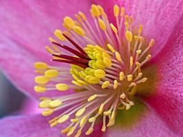 fleur d'hellébore rose photo