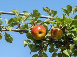 la maturation des pommes sur une branche d'arbre photo