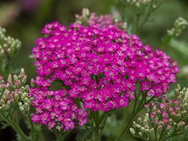 Achillée rose dans un jardin photo