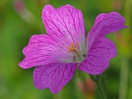 fleur de bec de grue rose photo