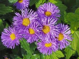 jolis asters violets photo