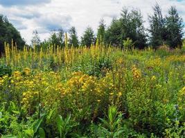 fleurs jaunes sauvages photo