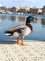 canard colvert sur la côte de la ville. photo stock verticale.