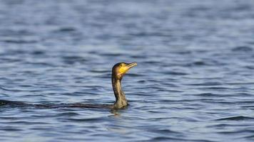 Le grand cormoran - Phalacrocorax carbo, Grèce photo