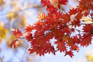 feuilles d'érable rouge sur une branche photo