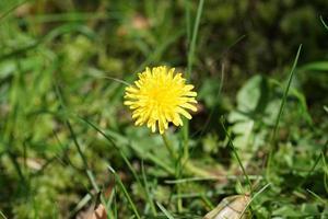 fleur de pissenlit jaune avec fond d'herbe verte photo