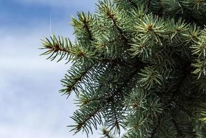 Branches d'épinette bleue contre un ciel bleu nuageux photo
