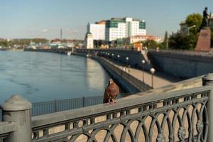 Pigeon sur un rail en béton à côté d'un plan d'eau à Irkoutsk, Russie photo
